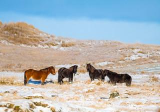 Horses at Hvalsnes, Iceland