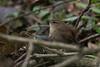 Wren-9964 (WendyCoops224) Tags: springwatch 100400mml 80d canon eos localbirdswildlife ©wendycooper wren