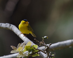 Wilson's Warbler (Tom Clifton) Tags: carmelomeadowtrail pointlobos wiwa birding