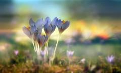Blossoming spring. (augustynbatko) Tags: flowers spring nature crocuses macro blur bokeh flower garden plant
