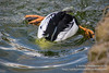 Common Goldeneye (Ashley Middleton Photography) Tags: goldeneye duck england commongoldeneye unitedkingdom bird cotswoldwildlifepark europe cotswolds animal burford oxfordshire gb