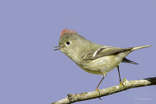 The Tiny Ruby-crowned Kinglet