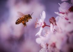 Prescott-1757 (Michael-Wilson) Tags: plumtree insects bee insect bees tree flowering macro wildlife michaelwilson arizona spring flower flowers