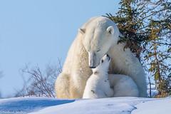 Mother's love (Nedko Nedkov) Tags: polar bear cub mum eildlife snow arctis wapusk manitoba