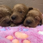 Addie and Scotty's 5 girls and 4 boys ! This litter goes home on May 19th ! All of Addie's puppies are reserved