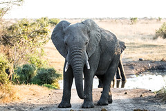 Elephant Male (mayekarulhas) Tags: elephant animal africa southafrica safari krugernationalpark canon wildlife wild mammal