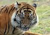 sumatran tiger Burgerszoo BB2A9472 (j.a.kok) Tags: tijger tiger sumatraansetijger sumatrantiger pantheratigrissumatrae animal asia azie predator kat cat mammal zoogdier dier burgerszoo