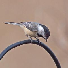 IMG_4223a (judyflo1) Tags: bird spring hawkrisesanctuary nj