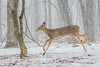 Running under the snow (Sammyboy77) Tags: cerfdevirginie whitetaileddeer odocoileusvirginianus running snow winter sammyboy77