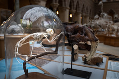 Still looking for the way back .. (Janet Marshall LRPS) Tags: saimiri squirrelmonkey museum skeleton bones oxfordmuseumofnaturalhistory explored