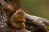 Chilling in a tree (washview52) Tags: red tree wide cute squirrel tail bushy rodent animal bark