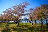 Cherry Blossom Festival in Washington, DC (` Toshio ') Tags: toshio washingtondc washington dc districtofcolumbia cherryblossomfestival cherryblossoms jeffersonmemorial tidalbasin usa spring people fujixt2 xt2 grass park trees
