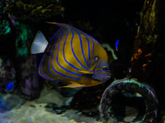 Great Lakes Aquarium, Duluth 4/6/18 #GLAquariumMN #angelfish #fishtank (Sharon Mollerus) Tags: duluth minnesota unitedstates us cfptig18