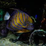 Great Lakes Aquarium, Duluth 4/6/18 #GLAquariumMN #angelfish #fishtank thumbnail