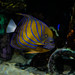 Great Lakes Aquarium, Duluth 4618 #GLAquariumMN #angelfish #fishtank