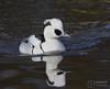 Male Smew (mikedenton19) Tags: smew mergus albellus mergusalbellus male martin mere martinmere wetland centre wildfowl wetlands trust wwt wildfowlwetlandstrust lancashire wildlife nature bird rspb spring water