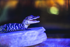 Big Smile (3rd-Rate Photography) Tags: alligator gator reptile animal gasstation florida i95 canon 50mm 5dmarkiii 3rdratephotography earlware 365
