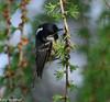 Coal tit on larch (Katy Wrathall) Tags: 109365 2018 2018pad april eastriding eastyorkshire spring bird coaltit coaltitlarch larch sunshine