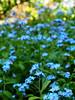 nefelejcs / forget-me-not (debreczeniemoke) Tags: tavasz spring növény plant virág flower kert garden kék blue kéknefelejcs forgetmenot fieldforgetmenot myosotisdeschamps ackervergissmeinnicht nontiscordardimèminore myosotisarvensis număuita miozotis ochiipăsăruicii borágófélék boraginaceae olympusem5