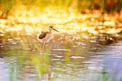 一天之计在于晨 (KevinBJensen) Tags: 无人 鸟类 一只动物 水彩画颜料 水 户外 侧面视角 自然 动物 野外动物 全身像 黑翅长脚鹬 水禽 反射 站立 鸟 晨