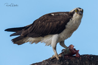 Osprey of the Jersey Shore   2018 - 18