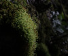 Spring is slow coming in the hills, but it is coming, and the signs are subtle... (koperajoe) Tags: woodland botanical moss spring macro westernmassachusetts newengland outdoors
