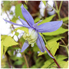 My first clematis ... Alpina Blue (Brenda Boisvert .) Tags: clematis alpinablue climber trellis nature mygarden leaves green blue coth5 ngc