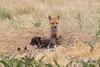 Red Fox kits hanging out (TonysTakes) Tags: fox redfox kit foxkit weldcounty wildlife colorado coloradowildlife