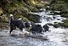 The Return (zeon7) Tags: river water flow dog dogs puppy border collie fetch ball moss grass pebbles rocks stones return walk walkies