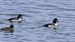 Garrot d'Islande_2A5A8290 (d.jauvin) Tags: garrot canard plongeur québec