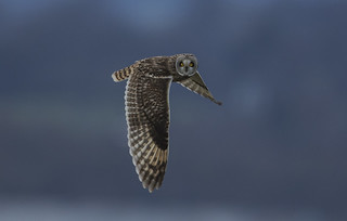 Short Eared Owl - I only have eye's for you!