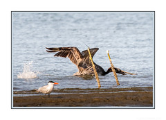 Down the hatch! (JohnKuriyan) Tags: alameda california elsie roemer bird sanctuary brown pelican caspian tern