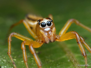 Jumping spider, Salticidae