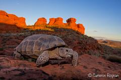Desert Tortoise at Sunset (cameronrognan) Tags: redcliffsdesertreserve wildlifephotography utah fieldherping sunset gopherusagassizii deserttortoise agassizsdeserttortoise mojavedesert naturephotography copyrightcameronrognan