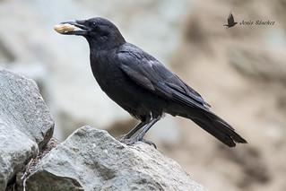 Cuervo americano (Corvus brachyrhynchos)
