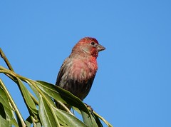 Red Finch (starmist1) Tags: finch red willow weepingwillow branch limb perch june spring