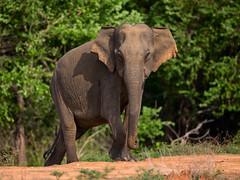 Sri Lanka '17_1483 (Jimmy Vangenechten 76) Tags: geo:lat=649238785 geo:lon=8129340000 geotagged srilanka ceylon asia azië indianocean indische oceaanwildlifeanimaldieryala block 5lunugamvehera national parkasianasiaticelephantaziatische olifantelephas maximus