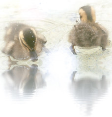 Over there and here (Tomo M) Tags: duckling birds reflections water duck animal waterdroplets pond fauna bokeh nature splash swimming