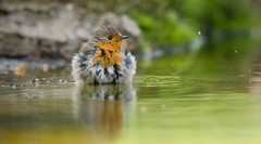 Robin (Jongejan) Tags: jongejanphotovogels robin roodborst bird animal wildlife nature outdoor lake river water