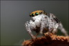 Maratus albus 1 (GTV6FLETCH) Tags: maratus peacockspider spider jumpingspider macro macrophotography 5dmarkii 5d2 canon canonmpe65 canoneos5dmark2 canonmpe65mm15xmacro canonmpe65mmf2815xmacrophotolens mpe65mm mpe65 mpe peacockjumpingspider maratusalbus