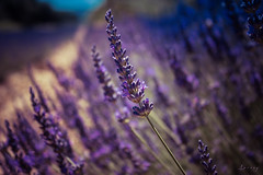 Espigol (ancoay) Tags: provence frança france lavanda lavande lavander flors flowers flores francia violet 7dwf canon600d