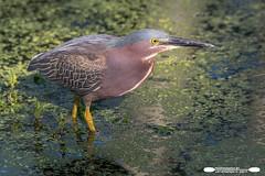 Little Green Heron Up Close (freshairphoto) Tags: little green heron wading bird canal duckweed morning light towpath trail wildwood lake park harrisburg pa artspearing nikon d500 200500 zoom handheld