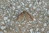Ruddy Highflyer, Hallsenna Moor, Cumbria, England (Terathopius) Tags: moth lepidoptera bug insect invertebrate arthropod entomology nature naturephotography naturaleza natureza wildlife wildlifephotography macro closeup canon5d canon greatbritain unitedkingdom spring outside springwatch ruddyhighflyer geometridae larentiinae hallsennamoor cumbria england naturereserve hydriomenaruberata