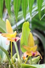 036A7020 (zet11) Tags: berggarten hanower botanical garden flowering orchid macro plants orchids flower bulbophyllum frank smith