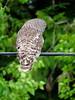 Barred Owl ~ 4 (diffuse) Tags: owl barredowl ptarmigancreek britishcolumbia highway16 bird cable wire forest cedars poplar