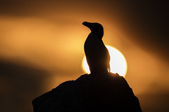 Razorbill at Sunset (Daniel Trim) Tags: alca torda razorbill with prey ireland saltee great islands sea bird seabird colony nature wildlife animals photography silhouette sunset