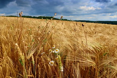 On the field (ZdenHer) Tags: field barley sky clouds flowers