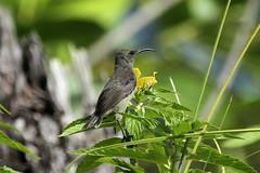Cinnyris dussumieri ♀ (Seychelles Sunbird) - Mahe, Seychelles (Nick Dean1) Tags: cinnyrisdussumieri sunbird seychellessunbird animalia chordata aves seychelles mahe indianocean thewonderfulworldofbirds birdperfect birdwatcher
