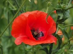 Flowerpower (M_Strasser) Tags: lausanne schweiz switzerland suisse svizzera olympusomdem1 olympus poppies mohn klatschmohn