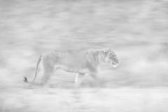 _Q4I3506-Edit (buddy4344) Tags: kambaku southafrica timbavati lion lioness